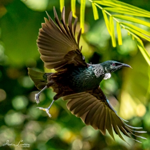 Tui with wings spread