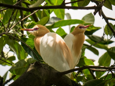 White Herons in Bali - Petulu Village